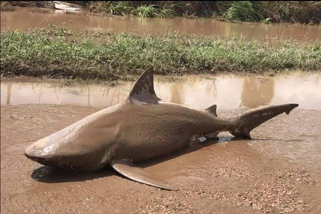 画像1: 先月下旬、オーストラリア東部にサイクロン「デビー」が上陸。 豪雨により各地で川が氾濫し、洪水の被害が発生した。 北東部に位置するエアという小さな町も例外ではなく、ここでは信じられない光景が目撃されることに。 なんと道路の真ん中に、巨大なサメの死骸が打ち上げられていたのだ。 これらの写真は、地元の消防局がFacebookで公開したもの。 投稿では、「水が引いたからと言って無闇に外に出るのは危険」として、これらの写真と共に、住民に注意を促している。 嵐は去っても、水の中にはどんな危険が潜んでいるかわかりません。サメと出くわすようなことがあれば救急隊にお知らせください。 同投稿には4万7000人がリアクションし、シェア数も6万6000件を [...] irorio.jp