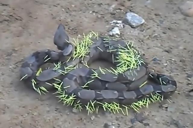 画像1: 後悔先に立たず...これを痛感しているに違いないヘビがブラジルで目撃された。 上にある写真の「ボアコンストリクター」という種類のヘビである。 通称「ボアコン」と言われる最大のヘビで、全長が3~4メートルになるものもいるという。 目撃されたボアコンがこちら▼ 周りで犬が吠えたてているので、鎌首をもたげこちらを威嚇している。 が、ご覧のとおり何か変。体中に無数に棘の様なものが刺さっているではないか。 実は、このヘビはヤマアラシを食べようと襲いかかったが、逆襲され、その棘が刺さってしまったという。 よく見ると棘は口の中にも... まさに満身創痍でのたうち回る姿は痛々しく、その上犬にまで吠えられて気の毒な限りだ。 「ヤマアラシなんて襲うんじゃなかっ [...] irorio.jp