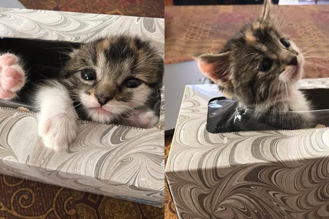 画像1: 飼っている猫の行方がわからくなったとしたら、飼い主は心配で血眼になって探すだろう。 こちらのブリトニー・ダイアンさんもそんな1人。 彼女が抱いているのは、生後4週間になる愛猫シャネルである。 先日、この愛するシャネルが忽然と姿を消した。 ブリトニーさんは、シャネルのためにミルクを温めようと思ったのだが、当のニャンコがいないことに気が付いた。 それから1時間ばかり、皆でシャネルを探し回ったが見つからず、とても心配したそう。 しかし結局、子猫は意外な場所から見つかった。 ここである。 そう、ティッシュケース。シャネルはこの中に身を潜めていたのだ。 ブリトニーさんはこの時の様子をTwitterで公開。 We just spent a ho [...] irorio.jp
