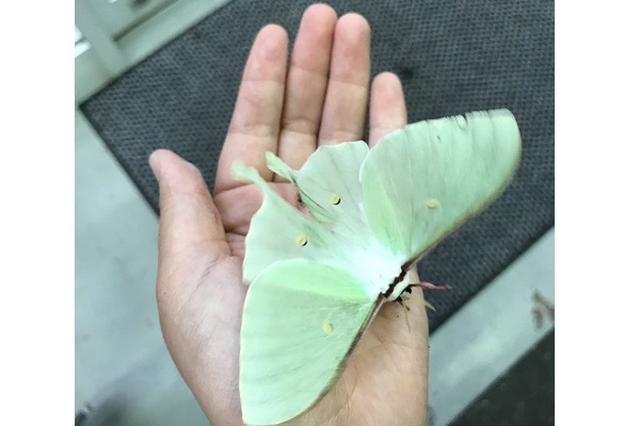画像1: 「蝶」のような淡いグリーンの翅(はね)を持つ「蛾」が美しすぎると、Twitterで話題になっています。 「蝶」のように美しい「蛾」 この画像を投稿しているのは、はとし(@streptopelia_r)さん。 昨日の夜、車で交差点を曲がる瞬間に見つけて「オオミズアオォォォ!!車止めてぇぇぇ!!」と叫んだ。先のコンビニに停めさせてもらって見に行ったらいた。完全体を見るのは初めて。美しいです......。 pic.twitter.com/E0USz9CW5o — はとし (@streptopelia_r) 2017年5月7日 ある日、車で移動していた際、「オオミズアオ」と思われる「蛾」を見かけたんだとか。 「オオミズアオ」の完全体を見たことがなか [...] irorio.jp