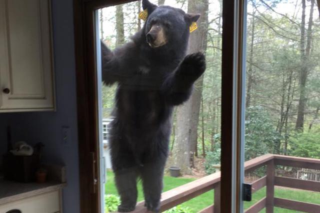 画像1: ある日、クマさんが戸を叩いて言いました。「こんにちは。中に入れてよ」...なんて、絵本にでも出てきそうなクマの姿が目撃され話題となっている。 先日、米コネチカット州に住む高齢の女性が、自宅でブラウニーを焼いていた時のことだ。 網戸を叩く音がしたので見てみると、そこには大きな1頭のクマが立っていたのでびっくり仰天。 幸い窓を閉めていたので、クマは部屋の中にまでは入って来られなかった。 諦めきれずジーッと中をのぞき込むクマ。 まるで「こんにちは」と挨拶しているかのよう。 余程いい匂いがしていたに違いない。 クンクンと窓に鼻を近付け、しきりに中に入りたがる。 「入れてよ~」と尚も食い下がる。 されどクマは所詮招かれざる客。女性は隣りの住民にク [...] irorio.jp