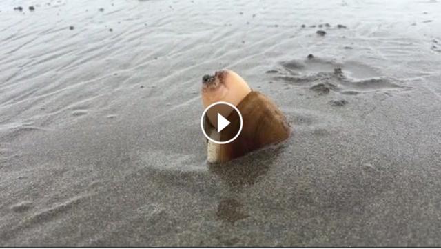 """画像1: 「貝が砂に潜り込む」ただそれだけを撮影した36秒ほどの動画が、人々の心をつかんでいる。 それがこちらだ。 沿岸でうごめく大きな貝が、手足もないのに器用に全身を動かして砂に潜り込み、ある程度潜ったところで動きを止めたかと思うと、勢いよく砂を吐き出した。 オレゴン州で撮影されたもの この動画を公開したのは、米オレゴン州でフライフィッシィングのガイドとして活躍しているケイト・テイラーさん。この動画は4月28日(現地時間)に、オレゴン州のノース・コーストで撮影されたものだという。 テイラーさんはこの貝を""""マテガイ""""と表現しているが、コメント欄には""""ナミガイ(白ミル)""""ではないかとの声もあがっている。 2,000万回近く再生され [...] irorio.jp"""