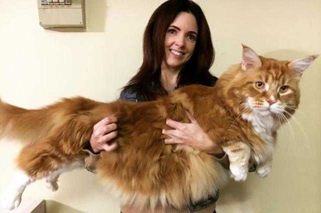 画像1: どう見ても普通ではなくなっていく愛猫を前にした、飼い主の驚きと動揺は想像に難くない。 豪メルボルンに住むステフィー・ハーストさんもそんな1人だ。 愛猫オマールは平均的な飼い猫の3倍の大きさで、体重が14キロもあるそうだ。 Omar the Maine Coonさん(@omar_mainecoon)がシェアした投稿 – 2017 5月 16 7:49午後 PDT え、よくわからないって? 猫同士背比べしてもわからないじゃないか...と思ったあなた。よくご覧いただきたい。隣りにいるのは犬である。 しかも小型のコリーとして位置付けられる、シェットランド・シープドッグ(シェルティ)で、決してお人形の様に小さな犬ではない。 そのシェル [...] irorio.jp