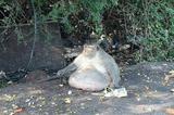 画像1: タイの国立公園野生動物保全局は今月19日、捕獲した肥満の野性ザル「太っちょおやじ」に、強制的にダイエットさせることを発表した。 腹部腫瘍の疑いで保護 「太っちょおやじ」は、タイ・バンコクのバーンクンティアン区で有名な野性ザルだ。その理由は見ての通り、異常なほどでっぷりとしたお腹。 以前から「腹部に悪性腫瘍がある」と噂されており、野生動物保全局の獣医もそれを疑っていなかった。 そして先月の27日、当局はついに「太っちょおやじ」を捕獲。手術で腫瘍を取り去ることになったのだが...... ただの肥満と判明 捕獲したサルを詳しく検査したところ、腹部に腫瘍などはなく、それ以外の何の病気にもかかっていないことが判明した。つまり、でっぷりお腹は単に太り過 [...] irorio.jp
