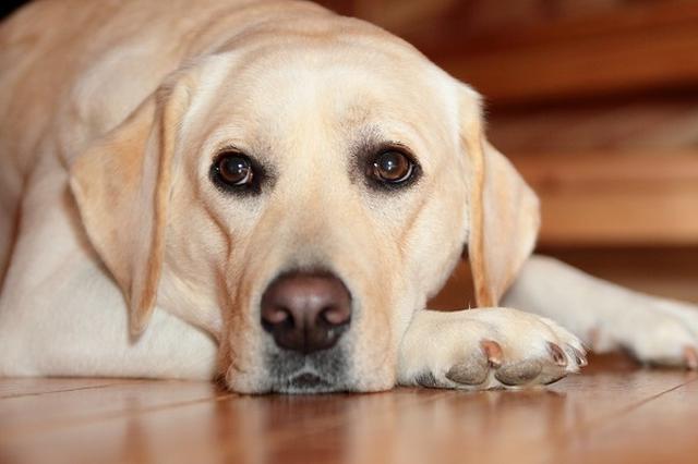 画像1: 「ほじょ犬の日」ということで、「補助犬(ほじょ犬)」について調べた。 「身体障害者補助犬法」が成立した日 5月22日は「ほじょ犬」の日。 「厚生労働省」HP 2002年のこの日に、補助犬の同伴をスムーズに受け入れ、障がい者の自立と社会参加を目的とする「身体障害者補助犬法」が成立したことに由来。 介助犬の育成や啓発等に取り組む「日本介助犬協会」が制定した。 「盲導犬」「介助犬」「聴導犬」のこと ほじょ犬とは、身体が不自由な人を手伝う「盲導犬」と「介助犬」「聴導犬」という3種類の犬のことで、正式名称を「身体障害者補助犬」という。 「盲導犬」は障害物をよけたり、立ち止まって曲がり角を教えるなど目の不自由な人をサポート。 「聴導犬は」耳が不 [...] irorio.jp