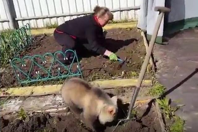 画像1: ここ掘れワンワン!と穴掘りに精を出すのは犬だけではない。 ロシアで目撃された、一心に土を掘り返す動物の赤ちゃんが「可愛い」と話題になっている。 それがこのコ。 小さな畑で作業する女性の手前で、一所懸命に穴を掘っているのは熊の赤ちゃん。 ただの土遊びではない。あくまでも女性の真似をして、家庭菜園の手伝いをしているのだ。 その証拠に、子熊は時々隣りをうかがっては、その仕草を真似ている。 ほら、また! 事実Redditには、この時女性は「畑仕事を手伝ってくれるの?手を貸してくれているのは誰?助かるわ、上手ね。気を付けてよ」と声をかけているとの指摘も。 今月20日に投稿された同動画は再生回数9万回を超え、「ロシアってすごい」「ロシア人はみん [...] irorio.jp