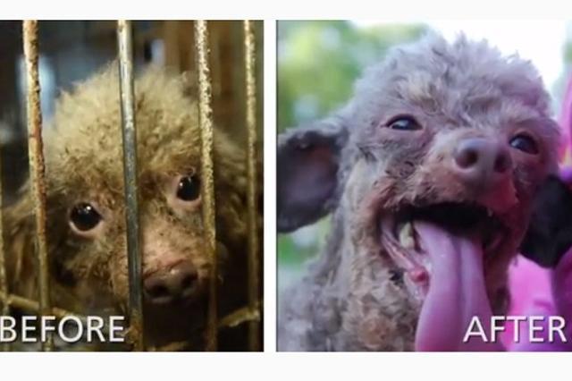 画像1: 2016年9月26日、動物の保護活動を行っているThe Humane Society of the United States(HSUS)は、米ノースカロライナ州カラバス郡の保安官らと共に、同郡にある不適切なブリーダーを訪問。 105匹のイヌと、20匹のネコ、そして3匹のヤギを救出した。 ▼そのときの様子 humanesocietyさん(@humanesociety)がシェアした投稿 – 2016 9月 28 2:00午後 PDT その時に救出されたのが、こちらのB.B.だ。 救出から半年以上が経過し、B.B.に起こった変化に注目が集まっている。 はじめて触れた太陽の光 恐らく10歳と思われるB.B.。その生涯を地下のオ [...] irorio.jp