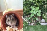 画像1: 家の庭に眠っているハムスターの場所に「ひまわり」が発芽!投稿者に奇跡的な出来事について聞いてみた 家の庭に眠るハムスターの場所に「ひまわり」が発芽していた...「奇跡すぎる」「感動」したの声相次ぐ! 家の庭に眠っているハムスターの場所に「ひまわり」が発芽していたという、ツイートに注目が集まっています。 あの場所に「ひまわり」が発芽... この画像を投稿しているのは、(@CRAZYMONKEY_Dub)さん。 昨年飼っていたハムスターを亡くし庭に埋めたのですが、最近になって埋めた所から向日葵が生えてきました。餌など撒いたことのない場所なので、恐らく亡くなったハムスターの頬袋に残っていた種から発芽したんだと思います。なかなか悲しいけれど、ほっと [...] irorio.jp