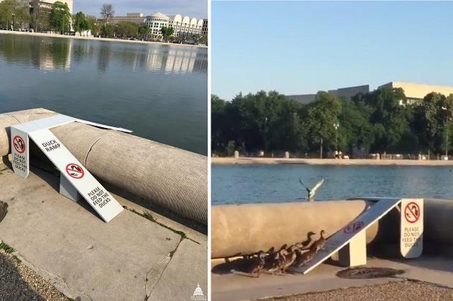"""画像1: アメリカの首都ワシントンDCにて、議事堂や最高裁などの施設の管理を担っている""""議事堂建築監""""。いかにも固そうな官職名だ。そんな議事堂建築監が手掛けた仕事がTwitter上で注目を集めている。 それがこちらだ。 Capitol Reflecting Pool has been a popular attraction—for ducks +humans! NEW: 2 ramps to safely assist ducks in/out: https://t.co/IRHGHmwQ5T pic.twitter.com/bPFWQsMXAW — U.S. Capitol (@uscapitol) 2017年5月15日 マガモ用の歩道 [...] irorio.jp"""