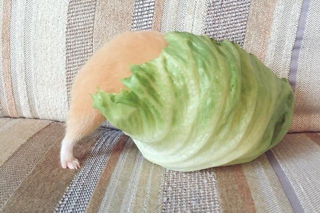 画像1: レタスにハムスターが食べられているような写真が可愛すぎると、Twitterで話題になっています。 レタスがハムを食べちゃった!? この画像を投稿しているのは、がんも(@ganmo_chan)さん。 レタスに食べられてる感すごい pic.twitter.com/Z8Rgm558nX — がんも (@ganmo_chan) 2017年5月26日 画像には、大きなレタスに食べられているようなハムスターのがんもちゃんの姿が写っています。 もちろん、レタスに食べられているのではなく、がんもちゃんが食べているところです。 とある事情で、いつもより、レタスのサイズが大きくなってしまったんだとか。 しかし、グルメながんもちゃんは、ひたすら大きなレタ [...] irorio.jp