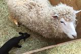 画像1: 『千葉市動物公園(ふれあい動物の里)』で産まれた羊の赤ちゃんに注目が集まっています。 真っ白な「羊の母」から真っ黒な「羊の赤ちゃん」 5月29日、『千葉市動物公園(ふれあい動物の里)』の公式Twitterアカウント(@ChibaZoo)が羊の赤ちゃんの写真を公開しました。 先週ひつじの赤ちゃんが産まれました。なんと全身真っ黒です。色素の関係で全身が真っ黒になる、メラニズムと呼ばれる動物です。真っ白になるアルビノの逆です。とっても珍しいメラニズム羊。現在は舎内でお母さんのしらゆきと過ごしています。6月中にデビュー予定です(ふ)#chibazoo pic.twitter.com/FrGHb5wM45 — 千葉市動物公園 (@ChibaZ [...] irorio.jp