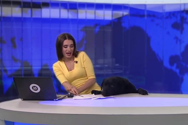 画像1: ある日のロシアのテレビ局、Mir TVのニュース番組でそれは起こりました。 (動画はロシア語です) 美人キャスターのIlona Linarteさんが冷静沈着にニュースを読み上げています。 その最中に突然の「ワン!」という声。Linarteさんが「ビクッ!」と身体を動かしています。 目の表情を見ると、演技ではなく本気で驚いたことが伝わってきます。 「ニュースの途中ですがここでゲストです」とは言えず...... スタジオに入ってきたのは黒のラブラドール・レトリバー。Linarteさんのデスクの下から顔を上げて、デスク上の紙の匂いをかいだり、周囲を探っています。 Linarteさんの顔色が明らかに代わり、驚きと動揺する表情に。 困惑しながら「スタ [...] irorio.jp
