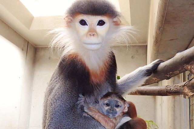画像1: 「世界一きれいなサル」の赤ちゃんが、ズーラシアですくすく成長している。 4月23日に誕生した「マニ」 横浜市旭区のよこはま動物園「ズーラシア」でこのほど、4月23日に生まれた「アカアシドゥクラング ール」の赤ちゃんの公開が始まった。 愛称はベトナム語で「強い」を意味する「マニ」。 毎週水・金・日曜日の9時30分~16時30分まで一般公開している。 絶滅危惧種、日本に9頭だけ アカアシドゥクラングールはベトナムやラオス、カンボジアの熱帯雨林などに群れで生息し、木の葉を主食とするサルの仲間で、「世界一カラフルでキレイなサル」と呼ばれている。 しかし、ベトナム戦争の枯葉剤の影響や密猟などで個体数が激減しており、国際自然保護連合レッドリスト [...] irorio.jp