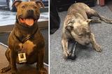 """画像1: アポロは米ワシントン州内で捨てられていたピットブル犬だ。""""凶暴""""というイメージから、個体の本質を見ることなく敬遠されがちな犬種であり、アポロも保護されたシェルターで新しい家族が見つけられないまま、6ヵ月もの月日を過ごした。 安楽死寸前だった 元気いっぱいのアポロに命の期限が迫ったころ、シェルターのスタッフが連絡をしたのは、ワシントン州内で麻薬探知犬の訓練をしているトレーナーだった。 「アポロに麻薬探知犬の素質があるかを見て欲しい」 そう言われたトレーナーは、アポロにいくつかの訓練を実施。その結果、「立派な麻薬探知犬になれるかもしれない」と判断して、アポロを引き取ったのだ。 DOC(矯正局)内にある犬舎にて、アポロは彼を相棒に選んでく [...] irorio.jp"""