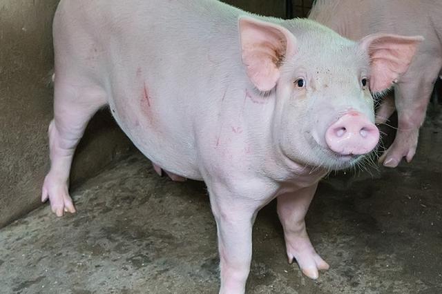 画像1: たくさんの「豚」が高速道路上を逃走し、大騒ぎになった。 高速道路を19頭の「豚」が逃走 大阪府池田市の阪神高速で8日午前、トラックの追突事故が発生。荷台に積まれていた19頭の豚が高速道路上に逃げ出した。 阪神高速に豚が放たれた様子です pic.twitter.com/VIEbvg70MC — 田中 釣術継修会 (@fishing_life1) 2017年6月8日 豚が高速道路上を走り回り、高速隊のパトカーが出動。 警察による捕獲作業や道路の清掃が終わるまでのおよそ5時間にわたり、上りの一部区間が通行止めになった。 ネット上で「なかなか見られない光景」と話題に このニュースはネットやテレビで相次いで報じられ、話題に。 豚が高速道路歩い [...] irorio.jp