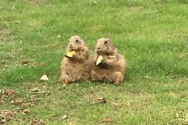 画像1: 仲良くごはんを食べる『長崎バイオパーク』のプレーリードッグの姿が可愛すぎると、Twitterで話題になっています。 とっても仲良しなプレーリードッグ 長崎県の西海市にある『長崎バイオパーク』の公式Twitterアカウント(@ngsbiopark)が、ほっこりするプレーリードッグの写真を公開しました。 雨が上がったので、外でゴハン食べます#オグロプレーリードッグ pic.twitter.com/lPHDEjOdKy — 長崎バイオパーク公式 (@ngsbiopark) 2017年6月7日 オグロプレーリードッグのまりあちゃん(左)と平次くん(右)が、仲良く座ってごはんを食べています。 雨がやんだため、巣穴の外で食事を取ることにしたよう [...] irorio.jp