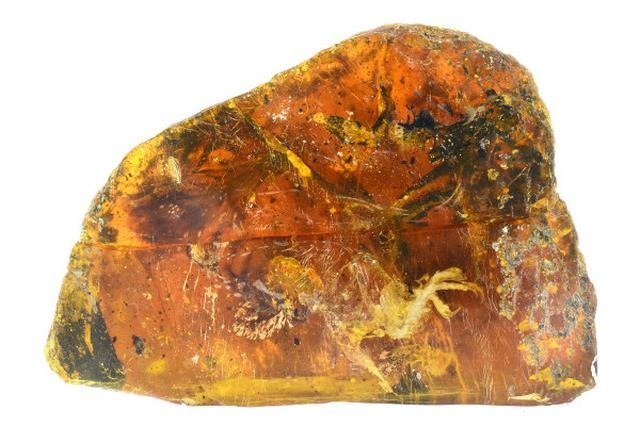 画像1: 樹脂が地中で固化してできたものを「琥珀」と言います。 アリなどの昆虫が入り込んだ琥珀では、姿形がそのまま残ることが知られています。 このたび、ミャンマーで鳥のヒナをまるごと1体包み込んだ琥珀が発見されました。 見つかったのは、白亜紀中期に生息し、絶滅した鳥類「エナンティオルニス類」のヒナです。 カナダのロイアルサスカチュワン博物館の研究員・ライアン・マッケラー氏、中国地質大学のLida Xing氏らの研究チームが琥珀の分析を行い、調査論文を発表しました。 マッケラー氏は「こんなに完全なものが存在するのは奇跡的で素晴らしい」と語ります。 孵化したばかりのヒナが... 研究チームは北京科学院でマイクロCTスキャンを使って分析を行い、成果を論 [...] irorio.jp