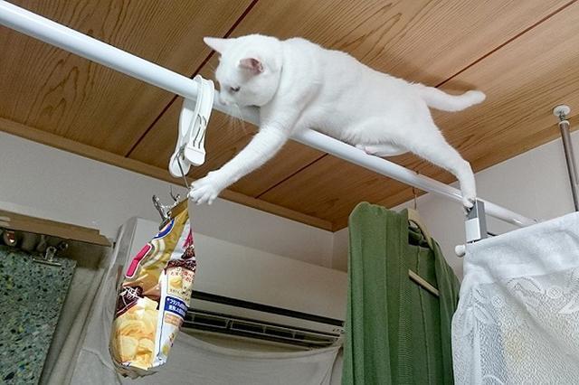 画像1: 菓子袋をかじられないように吊るすも、猫の執念で手が届いてしまった写真に注目が集まっています。 手が届かないようにしたのに... この画像を投稿しているのは、Sino'a(@SinoFue3)さん。 猫がスナック菓子の袋をかじるので、手の届かない場所へ吊るした結果・・・手が届いてしまった例 pic.twitter.com/7b5N3znlUI — Sino'a (@SinoFue3) 2017年6月15日 画像には、つっぱり棒の上でバランスを取りながら、菓子袋に手を伸ばす小白(こはく)くんの姿が写っています。 Sino'aさんによると小白くんは、スナック菓子の袋などを見るとかじってしまうそうです。 その [...] irorio.jp