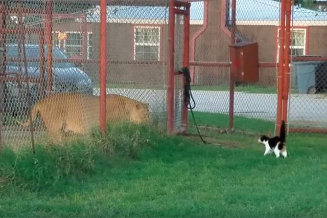 画像1: バギーという名のニャンコが、何とも言えない根性を見せて飼い主に悲鳴を上げさせた。 ▼こちらがバギー ▼バギーが走ると、ライオンのノーイも走り出した ▼みつめあう2匹 撮影者のデレクさんは「やめとけって、負けるから」と声をかけている。 緊張感のある数秒が流れた後...。 ▼バギーが走り寄った! デレクさんは「なんだって...」と思わずつぶやいている。 ▼その後もバギーはノーイに迫り続ける 最初はおもしろがっていたデレクさんも、この様子を見て「退避だ!」「戦っても何も得るものはないぞ」「やめてくれ」「バギー!」と悲鳴に近い声を上げている。 ▼動画全編はこちらから 1日で10万回以上再生された この動画は6月14日に公開されると、1日で10万3, [...] irorio.jp