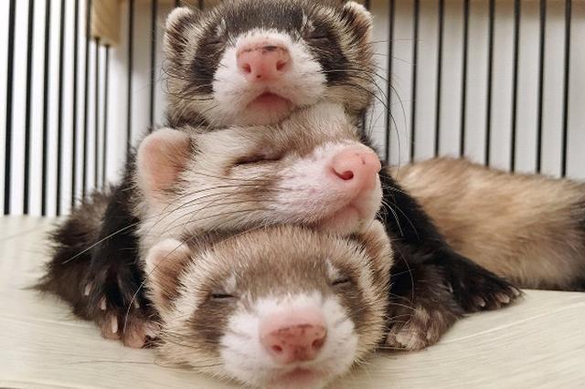"""画像1: もちと3兄弟さん(@guunondai)は一緒に暮らしている3匹のイタチ(フェレット)との生活をツイッターに投稿しています。 3匹のかわいい仕草はたびたびSNSで盛り上がります。とにかく「カワイイ!」の言葉しか出なくなるほどの愛らしい姿なのです。 つい先日も3匹が重なって眠る姿に5000件以上の「いいね!」が付きました。まるでゲームの「ツムツム」あるいはダルマ落としならぬ""""イタチ落とし""""か、という声も......。 お母ちゃんに積まれるイタチ達(そして崩れゆくイタチ達) #フェレット pic.twitter.com/bI1XD4E3af — もち と 三兄弟 (@guunondai) 2017年6月3日 3匹と暮らしている飼い主のもちさんに [...] irorio.jp"""