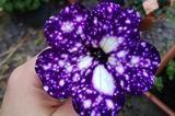 """画像1: ガーデニングによく利用され、春から秋までにかけてきれいに咲くペチュニア。開花期間が長く、小さな花は私たちの目を楽しませてくれます。 ペチュニアの花びらは通常、紫やピンクの一色ですが、花びらに白い斑点がついた、まるで星空のように美しく咲く品種「ナイトスカイ」という花が注目されています。 esimmons91さん(@esimmons91)がシェアした投稿 – 2017 5月 28 5:38午前 PDT ▪️I R E N E ▪️さん(@irenefotod)がシェアした投稿 – 2017 6月 3 9:16午前 PDT なぜ白い斑点がつくのかは気温に理由があります。ガーデニングショップ""""Burpee""""によると、 [...] irorio.jp"""