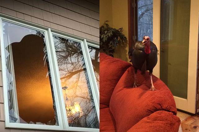 画像1: 楽しかった旅行を終え自宅に戻ると、家の窓がこんな状態だったとしたらどうするだろうか? 窓を破り泥棒が入った! そう思って警察に通報するのが普通だろう。 米ミネソタ州ショアウッドに住むピーターソン夫妻も例外ではなかった。 ただ、「こちらに通報して良いものかどうか...」「ずっと留守にしていて家に戻ると窓が割られてはいたのですが...」と、緊急事態を告げる夫妻の言葉は要領を得ない。 現場に駆け付けたサウス・レイク・ミネトンカ警察の署員が目にしたのがこちら。 通報の内容は、「野生の七面鳥が窓を突き破って侵入し、今も家の中にいるのですが」というものだったのだ。 驚く夫妻をよそに、七面鳥は動じることなく、ソファーでくつろいだ様子を見せていた。 同署は [...] irorio.jp