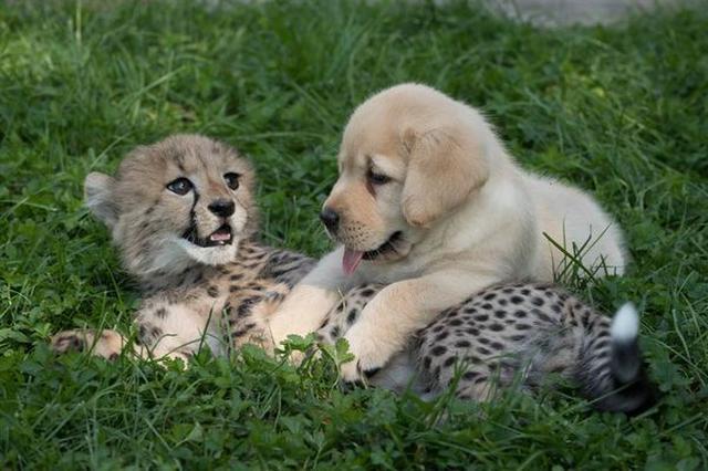 画像1: 人類の友といわれる犬。 犬はその忠誠心と深い愛情で、我々人間を癒すだけではなく、チーターの種の保存にも大いに役立っていることがわかった。 警戒心の強さが繁殖の壁に 米カリフォルニア州にある「サンディエゴ・ズー・サファリ・パーク」の飼育員の話では、チーターは非常に警戒心が強く、容易に他人(他チーターを含む)を近付けない性格だという。 慎重すぎる性格が生殖の邪魔をしている、というわけで、同パークでは1980年代から、生まれたばかりのチーターを子犬と仲良くさせ、犬からその人なつっこさや社会性を学んでもらう取り組みを実施している。 犬は、チーターを絶滅の危機から救う立役者になっているというわけだ。 一方、相手に心を許す術を教える先生役の方は [...] irorio.jp