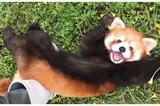 画像1: 『秋吉台サファリランド』のレッサーパンダが可愛すぎると、Twitterで話題になっています。 あざと可愛いレッサーパンダ 山口県美祢市にある『秋吉台サファリランド』のTwitterアカウント(@aki_safariland)が、可愛すぎるレッサーパンダの動画を公開しました。 夏が苦手なレッサーパンダ、子どもの優香だけは暑くてもお構いなしに「遊んで攻撃」を仕掛けてきます...あざとい!かわいい!足グセ! つい先ほど台風が通り過ぎ、雨が上がりました。これでたくさん遊べます。よかったね、優香! pic.twitter.com/XMIeHk3krX — 秋吉台サファリランド (@aki_safariland) 2017年7月4日 動 [...] irorio.jp