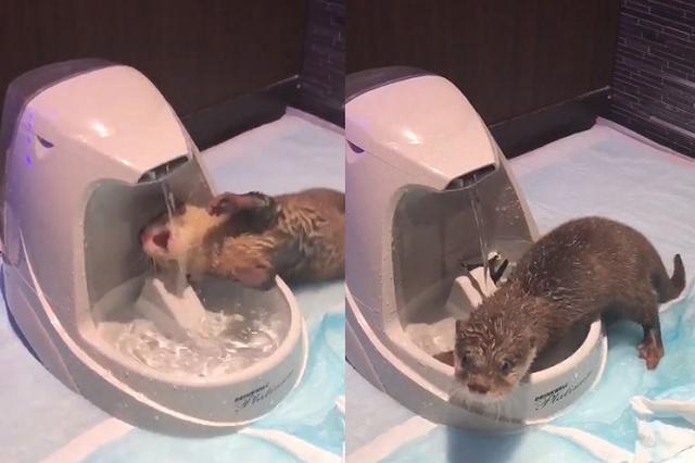 画像1: 水を飲むのがヘタすぎるカワウソの動画に注目が集まっています。 水を飲むのがヘタなカワウソ この動画を投稿しているのは、カワウソのちぃたん(@love_otter_love)さん。 いくら何でも水飲むの下手すぎるカワウソ pic.twitter.com/XNNY5PY5id — カワウソのちぃたん (@love_otter_love) 2017年6月28日 動画には、循環式の給水器から流れる水を飲むちぃたんちゃんの姿が映っています。 バルブの近くに口元を向けるも、顔に水がかかってしまい、うまく飲めないようです。 いろいろと体の角度を変えて、なんとか水を飲もうとしています。 しかし、途中で給水器をかじるなどして体がびしょびしょに...。 水 [...] irorio.jp