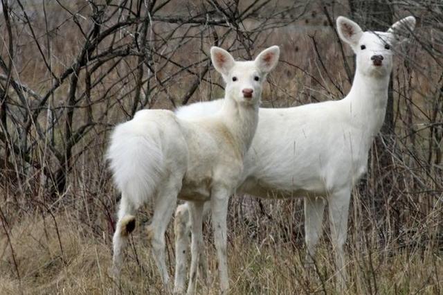 画像1: 古くから縁起が良いとされる白い鹿。日本国内だけではなく、世界で目撃されてはその神々しい姿が話題になるが、そんな白い鹿を何匹も保護している団体がある。 それが米ニューヨーク州カナンデイグアにある、NPO法人Seneca White Deer, Inc.だ。 2000年までは陸軍が使用していた施設の跡地には、約38キロメートルにわたってフェンスが張り巡らされており、普通の鹿に混じって、10匹以上の白い鹿がハンターや車から守られて暮らしている。 近くを走る道路から、白い鹿が目撃されることもあるようだ。 ▼とってものどかに暮らしているようだ White Deer of the Seneca Army Depot Part 1 from De [...] irorio.jp