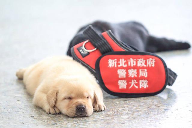画像: これから警察犬になる「生後2ヶ月の子犬」が可愛すぎ!警官もメロメロに