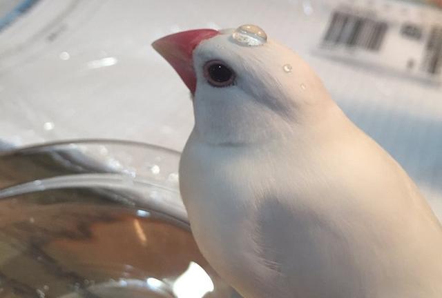 画像: 頭にちょんと水滴が...驚くべき撥水力の文鳥がめっちゃ可愛い!
