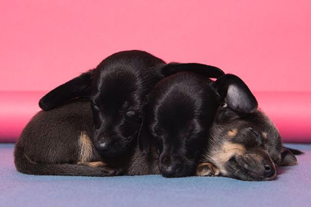 画像: 実は耳が聞こえなかった子犬、3つ子のきょうだいの真似をしていた