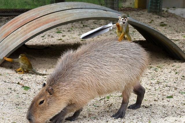 画像: 「かっこいいだろ?」カピバラの背でポーズを決めるリスザルが話題に