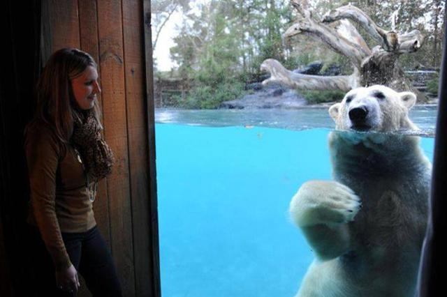 画像: 近すぎちゃってどうしよう...ホッキョクグマと過ごす「サファリ・ロッジ」が大人気