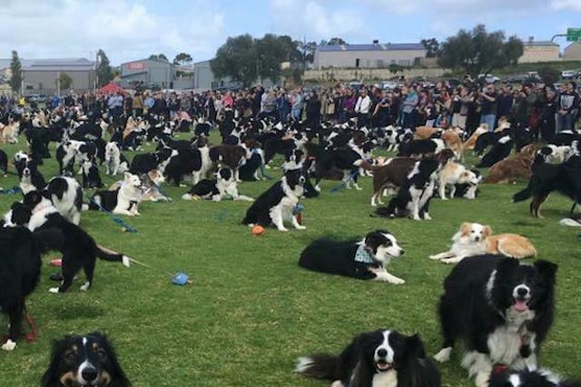 画像: 534匹のコリー犬が世界記録を目指し集まった風景が壮観