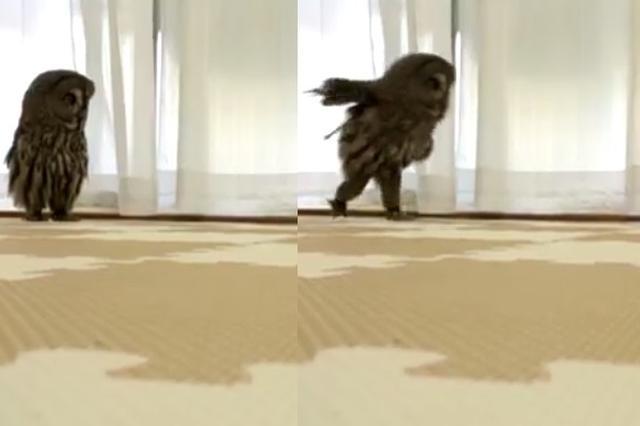 画像: 人間みたい!2本足ですたすたと走るフクロウが可愛いw
