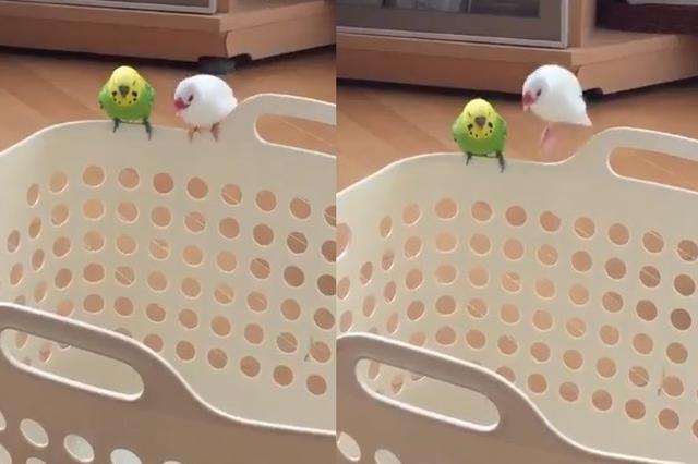 画像: 洗濯かごの上でピョンピョン踊りながら歌う白文鳥が愛らしい