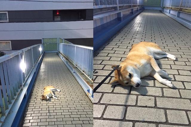 画像: まだ帰りたくない...散歩が終わることに絶望したワンコの姿に13万いいね!