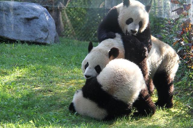 画像: パンダの赤ちゃんがコケる瞬間だけをまとめた動画をカナダの動物園が公開