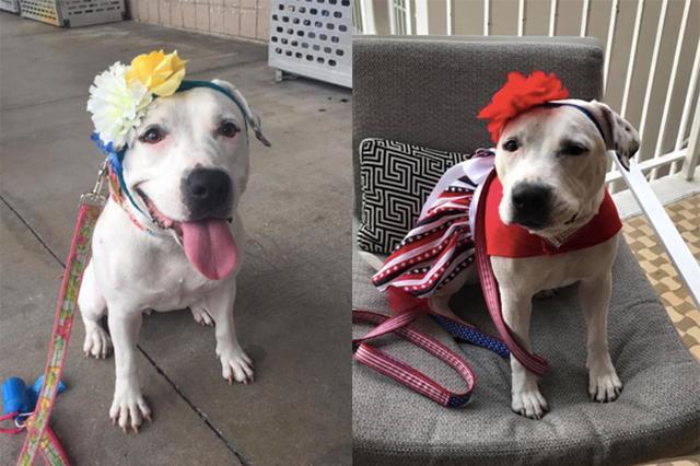 画像: 片耳を失った保護犬、おしゃれな頭飾りでファッションリーダーに