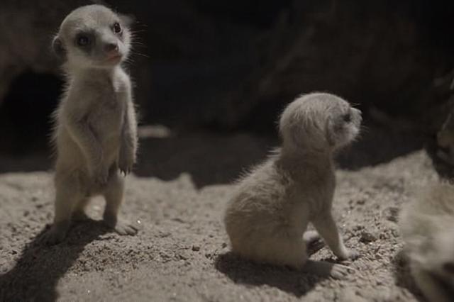 画像: 二本立ちする赤ちゃんミーアキャットが可愛い