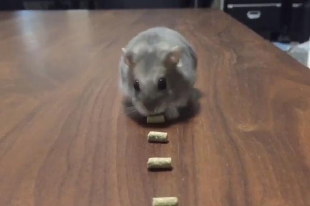 画像: オヤツをものスゴい吸引力で食べるハムスター動画のオチが面白いとSNSで話題に!