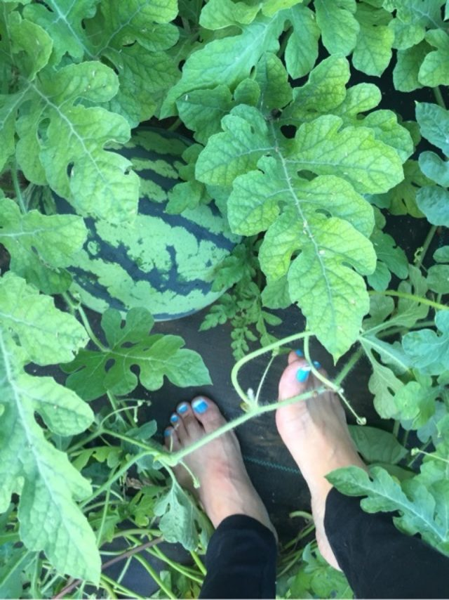 画像: スイカ畑を裸足で歩くわけは!?︎スイカにやさしい裸足農法