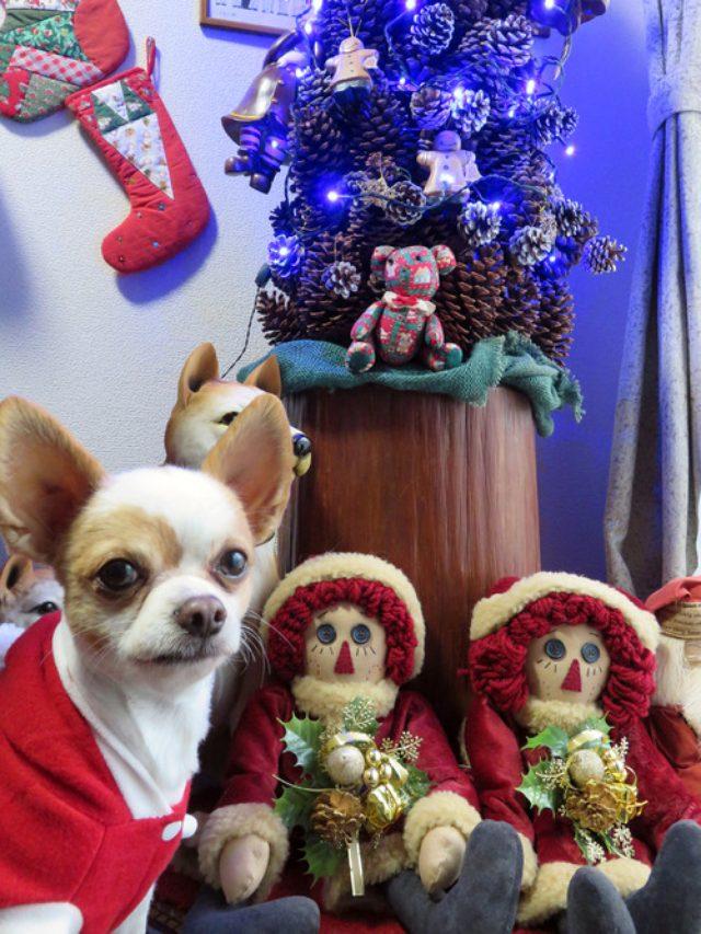 画像: 【福岡】ちわわんアンディのクリスマス♪
