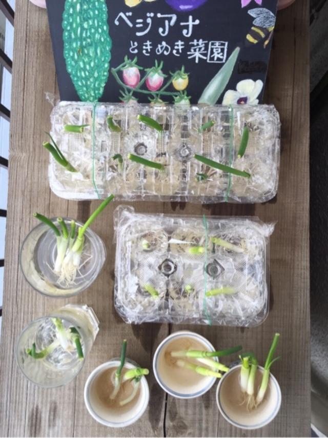 画像: 野菜俳句 ふとん干しねぎに水やる日曜日 卵パックでねぎ栽培その2 (4月10日編