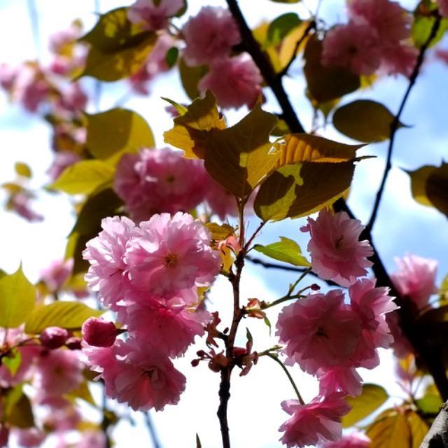 画像: 「八重桜、上野うさぎやのどら焼き」