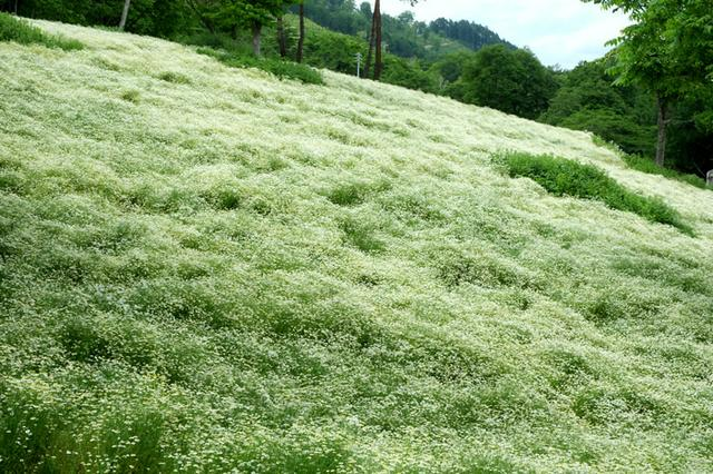 画像: 「長野・池田町 八寿恵荘のカミツレ畑」