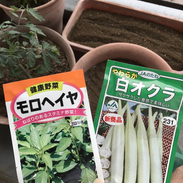 画像: モロヘイヤと白オクラの種まいたらすでに12鉢になったベランダ菜園家、東京野菜育てます