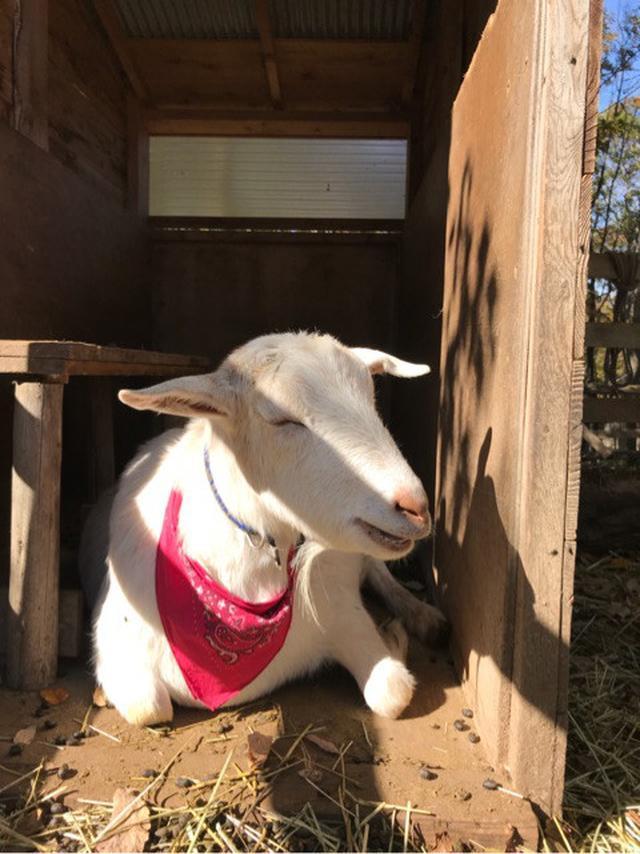 画像: 那須町の 森林ノ牧場でジャージー牛の新しい食実験!
